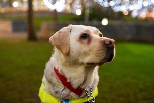 Photo de Kika, chien guide
