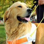 Comment accueillir et se comporter avec un chien guide d'aveugle ?