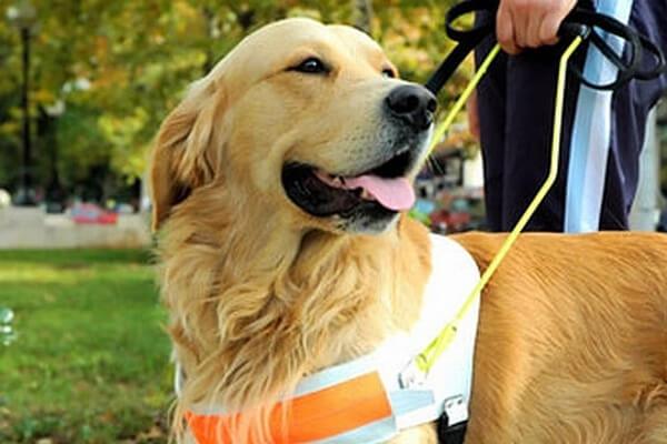 dressage chien guide d'aveugle