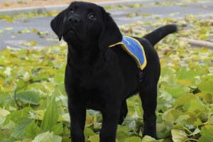 chiot à l'école des chiens guides d'aveugles