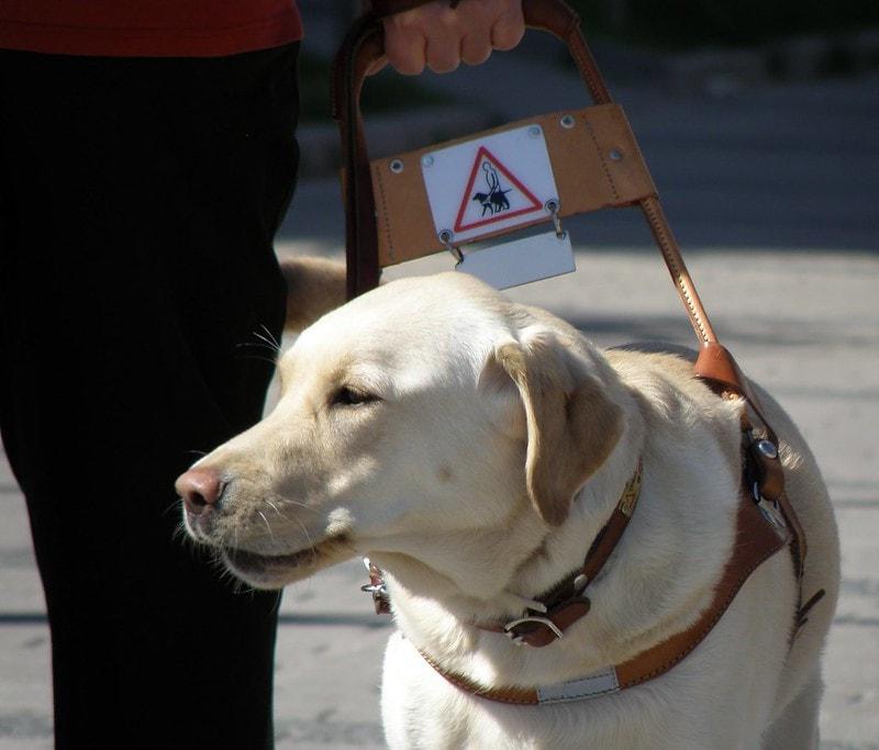 accessibilité chien guide d'aveugle